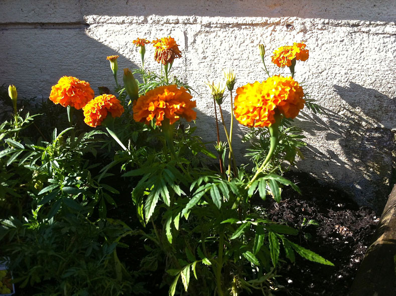 African marigolds, rescuing our cul-de-sac rep | westvirginiaville.com photo